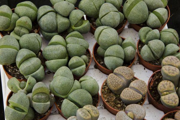 Piante grasse pianta sasso piante fiori erbe for Piante rare